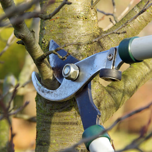 Care for your urban tree canopy by pruning before the sap flowsl.